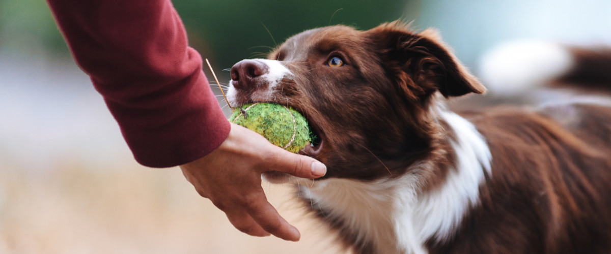 Border collie playing with a tennis ball