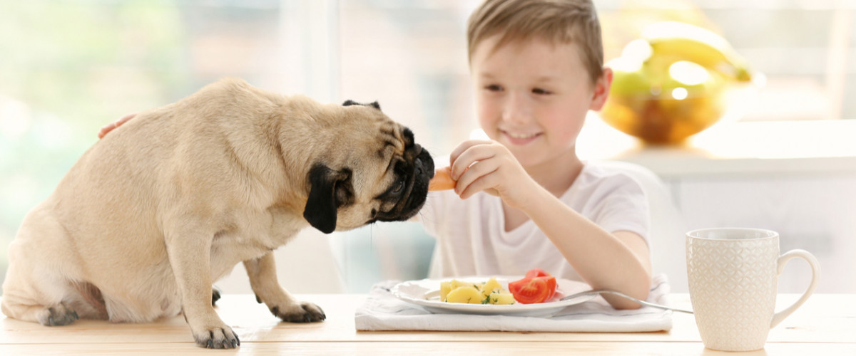 Pug eating food at table being fed by boy owner