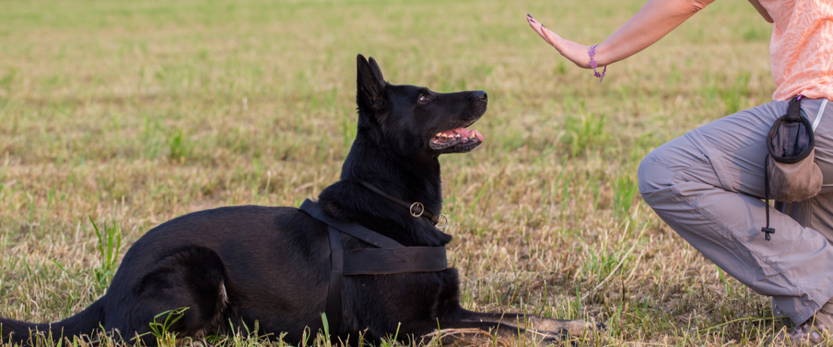 German Shepherd training (Sit command)