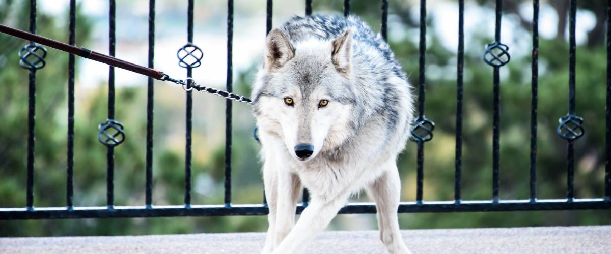 Domesticated wolf hybrid on leash standing with paws crossed