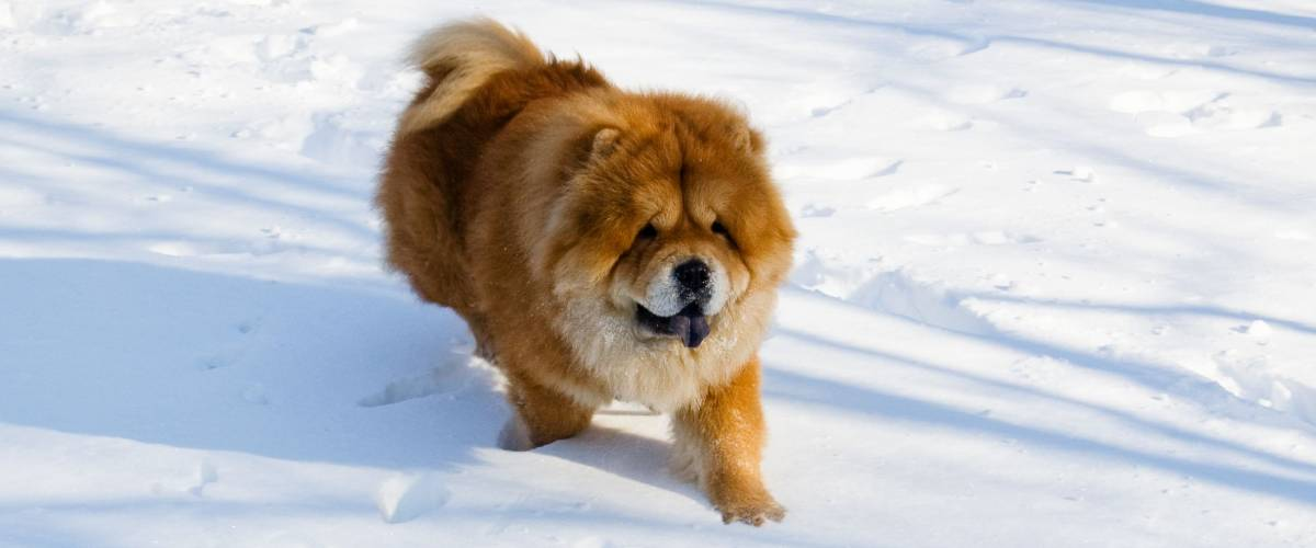 Chow-chow running in the snow
