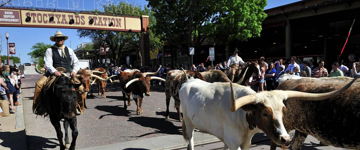 Fort Worth, Teas, USA, - March. 23. 2012: Fort Worth Herd Longhorn Cattle Drive at the Fort Worth Stockyards Historic District