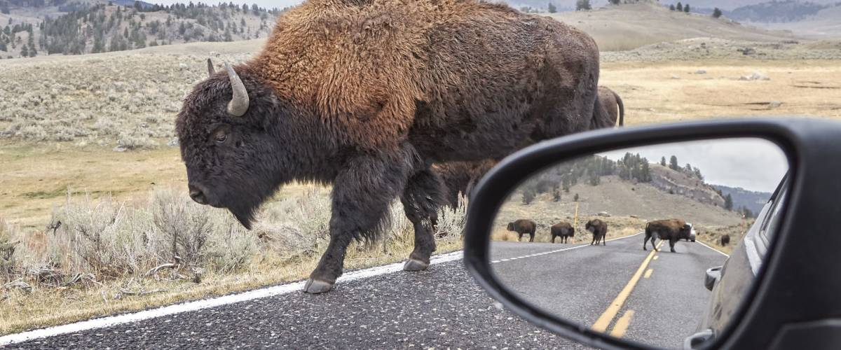 American bison (Bison bison) on a road seen from car driver seat with view in wing mirror, Grand Teton National Park, Wyoming, USA.