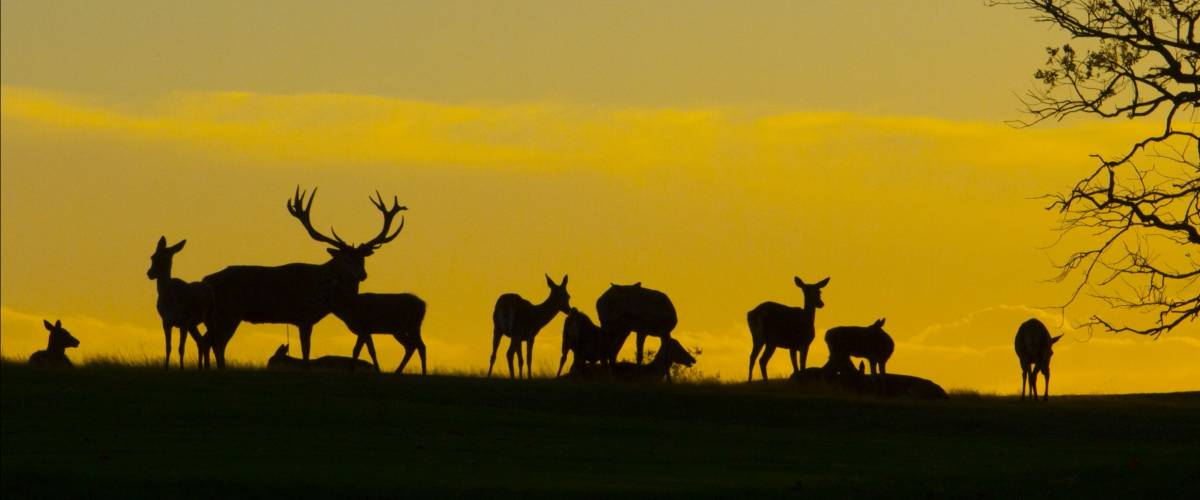Silhouette of deers on hill