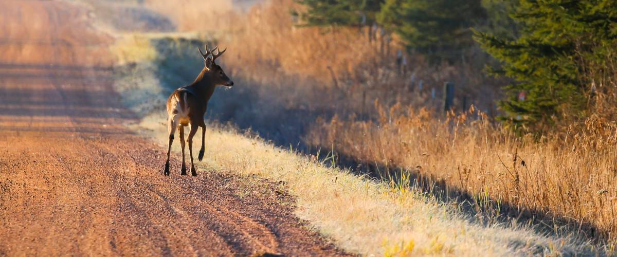 Eight point buck deer crossing a gravel road.