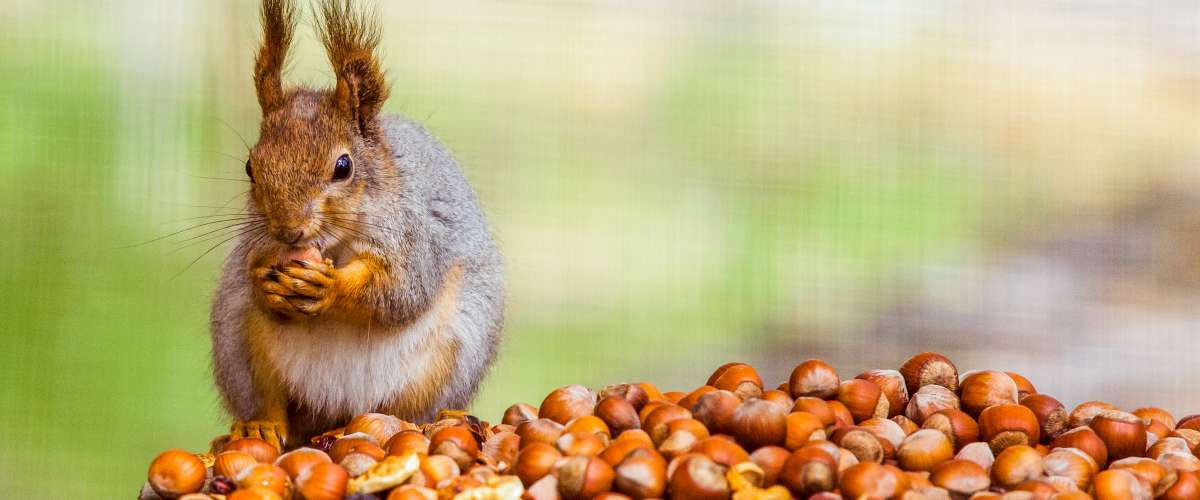 squirrel stockpiling nuts