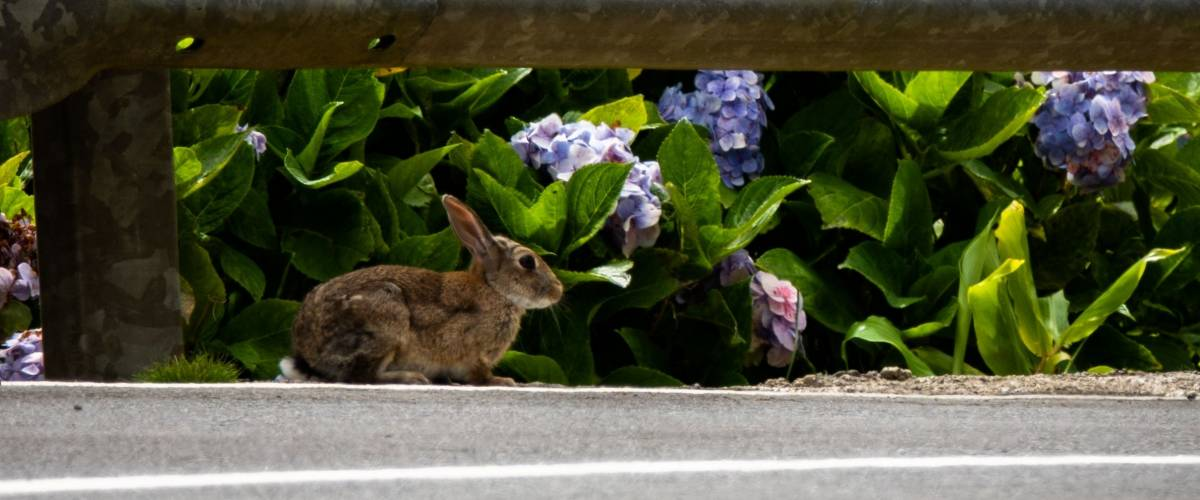Rabbit next to the road