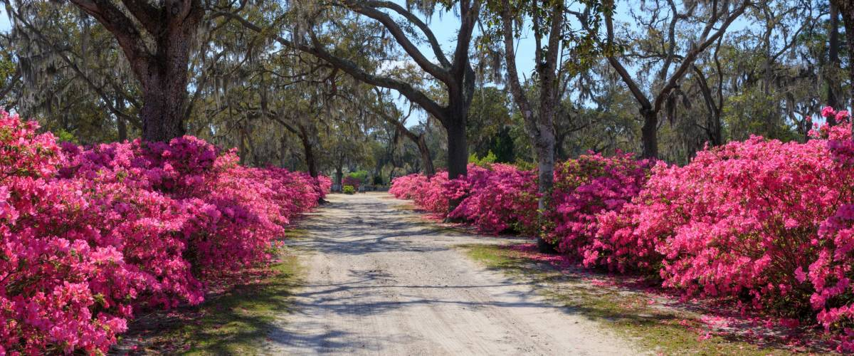 A dirt road, lined with pink blooming azalea bushes, leads through historic Bonaventure Cemetery near Savannah, Georgia.