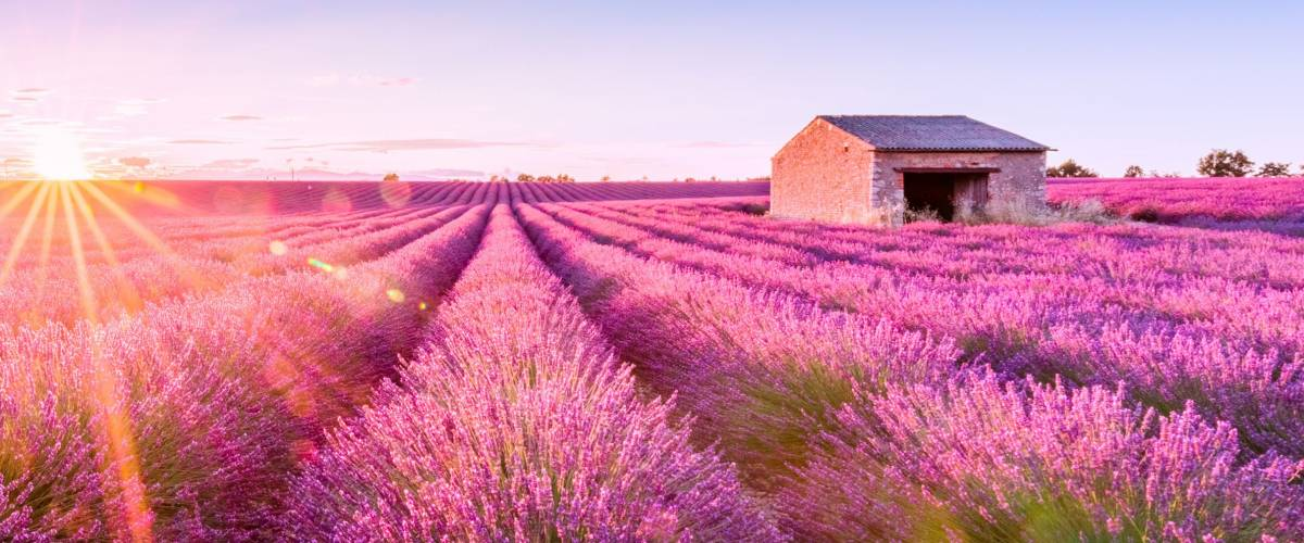 Valensole, lavender fields in a summer day, Provence, France. Sunset