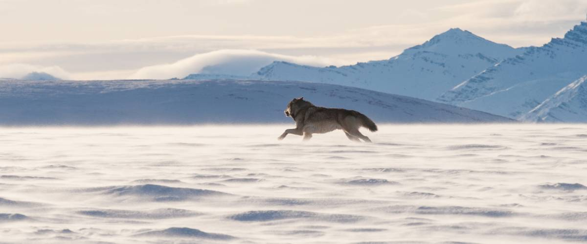 Wolf running in the area of the Arctic National Wildlife Refuge