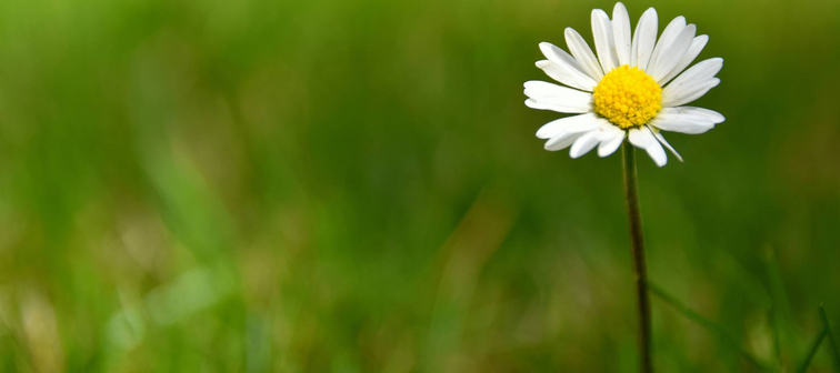 Simple daisy in a field.
